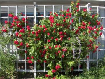 Плетистые розы, уход
