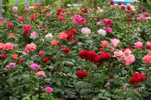 Розы чайно гибридные 2