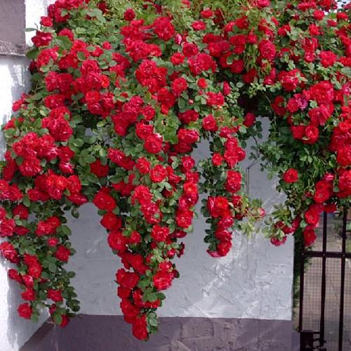 Плетистые розы Фламентанц