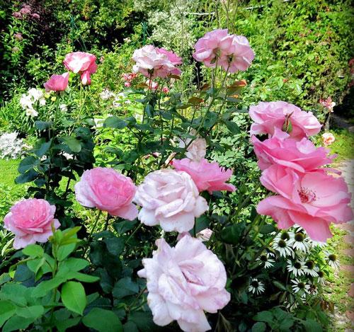 Роза грандифлора 2
