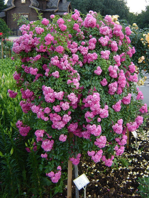 Плакучая штамбовая роза