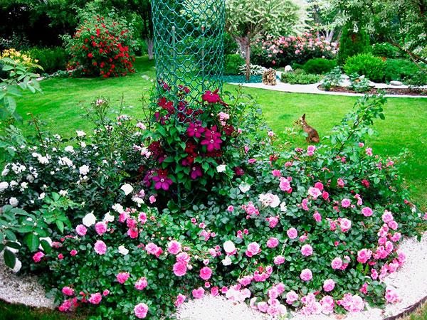 Почвопокровные розы дизайн