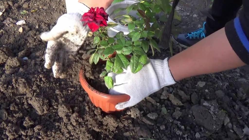 Пересадка миниатюрных роз
