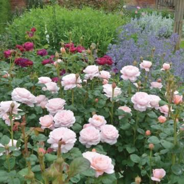 Английские розы сад