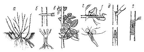 Размножение плетистых роз прививкой