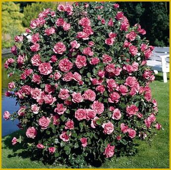 Парковая роза 2