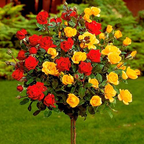 Штамбовые розы фото 2