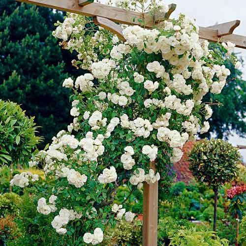 Плетистые розы Айсберг