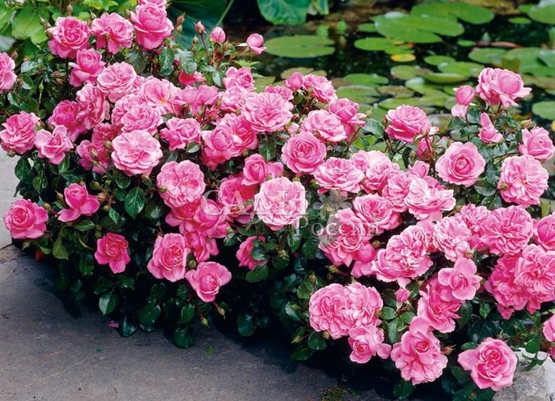 Розы флорибунда 2