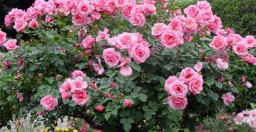 Штамбовые розы фото 1