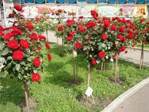 Полуштамбовые розы