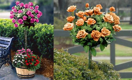 Миниатюрные штамбовые розы