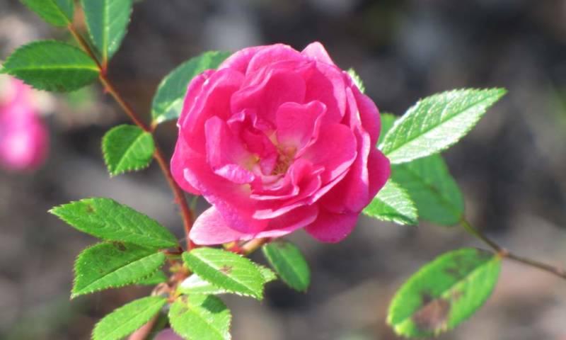 Роза Рулетти