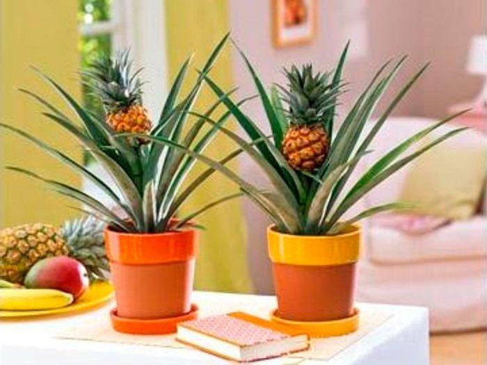 Как вырастить дома ананас фото 3
