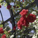 Размножение плетистых роз