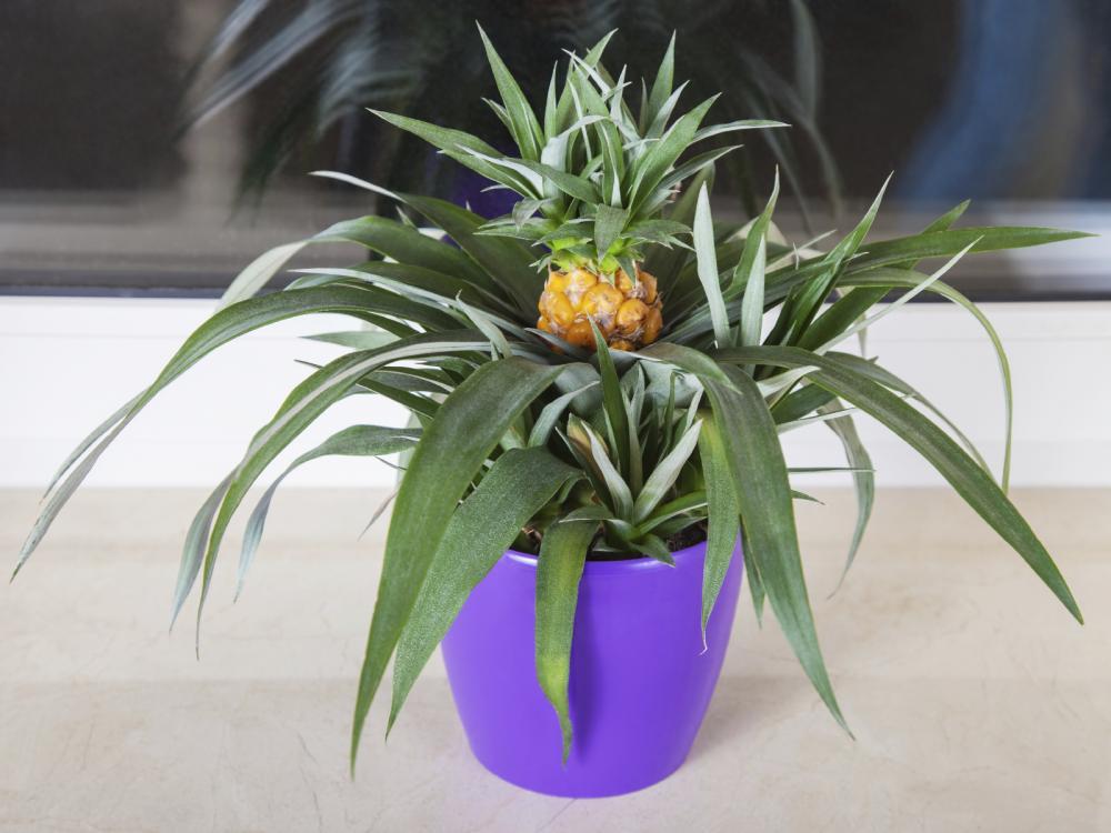 Как вырастить дома ананас фото 1