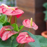 Выращивание сортовых антуриумов