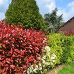Декоративные кустарники для живых изгородей
