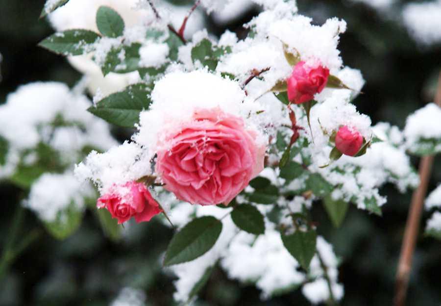 Как ухаживать за розой зимой