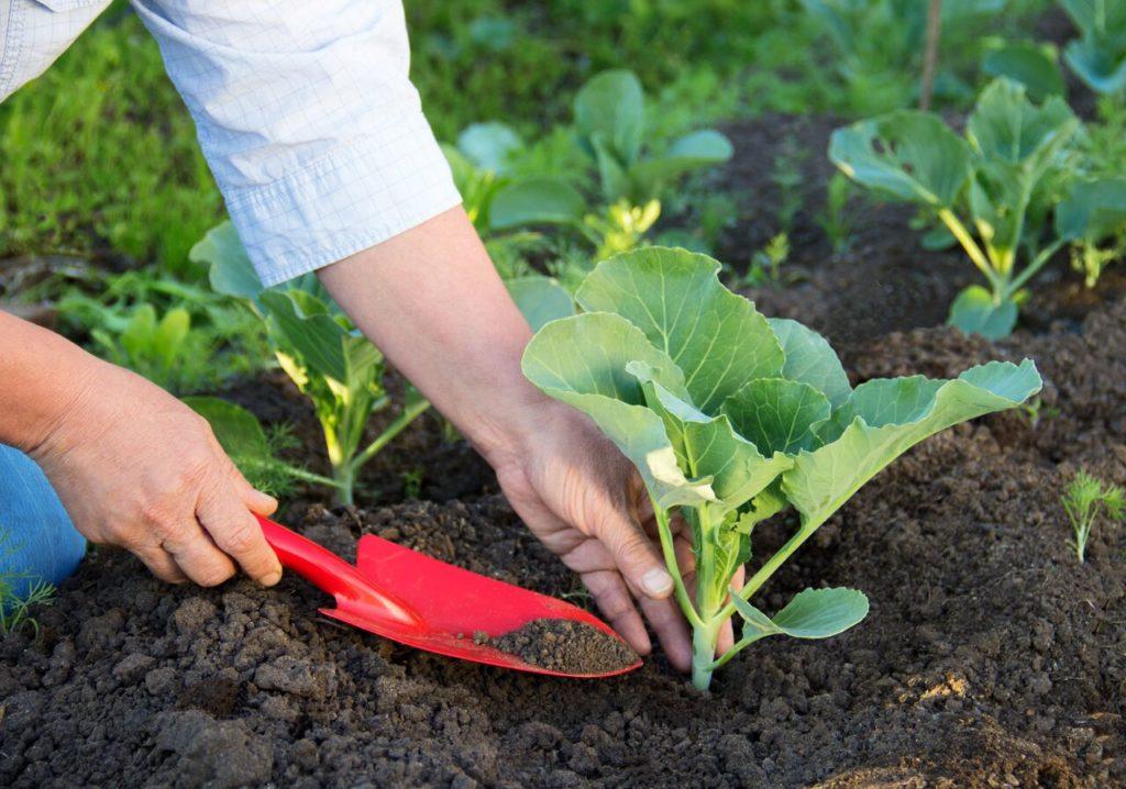 Условия выращивания капусты
