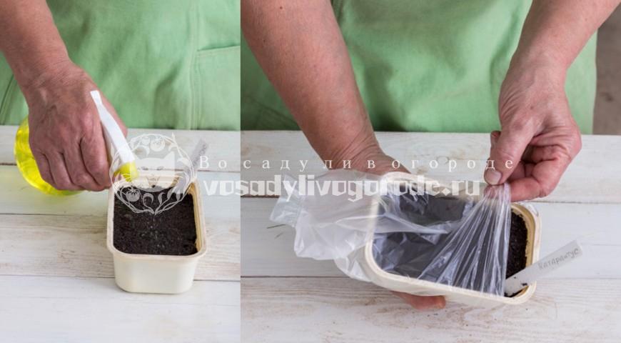Дельфиниум выращивание рассады из семян в домашних условиях