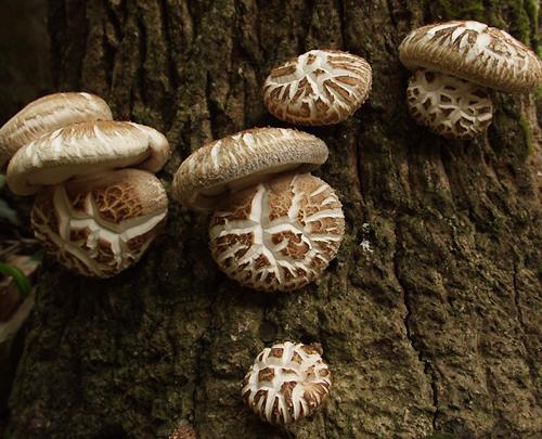 Древесный гриб шиитаке