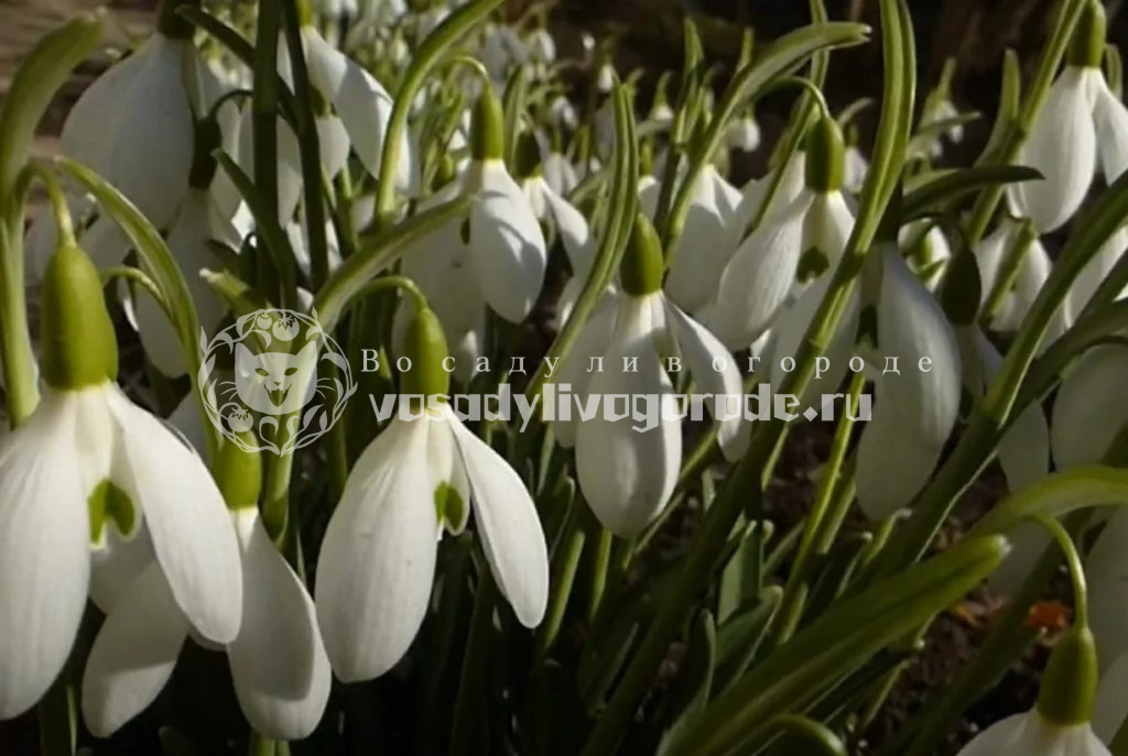 Какие цветы можно посадить осенью луковичные и мелколуковичные