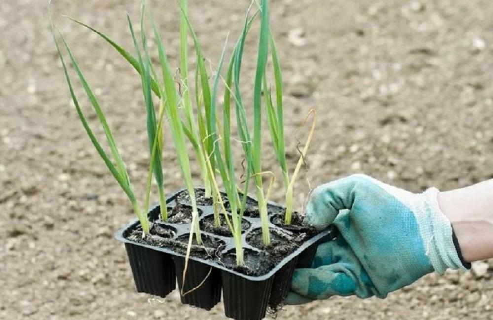 как сажать лук порей семенами на рассаду
