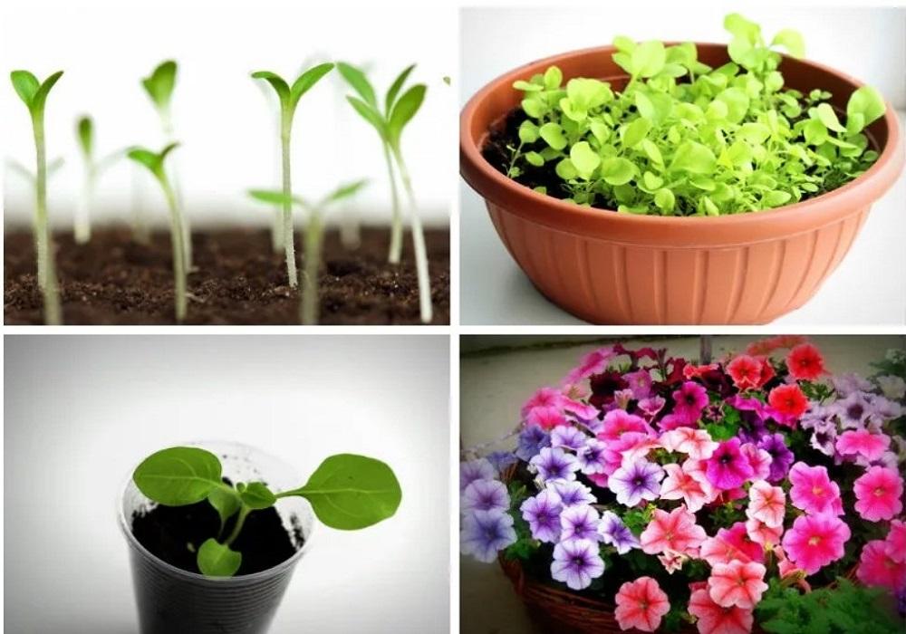 Как вырастить петунью из семян