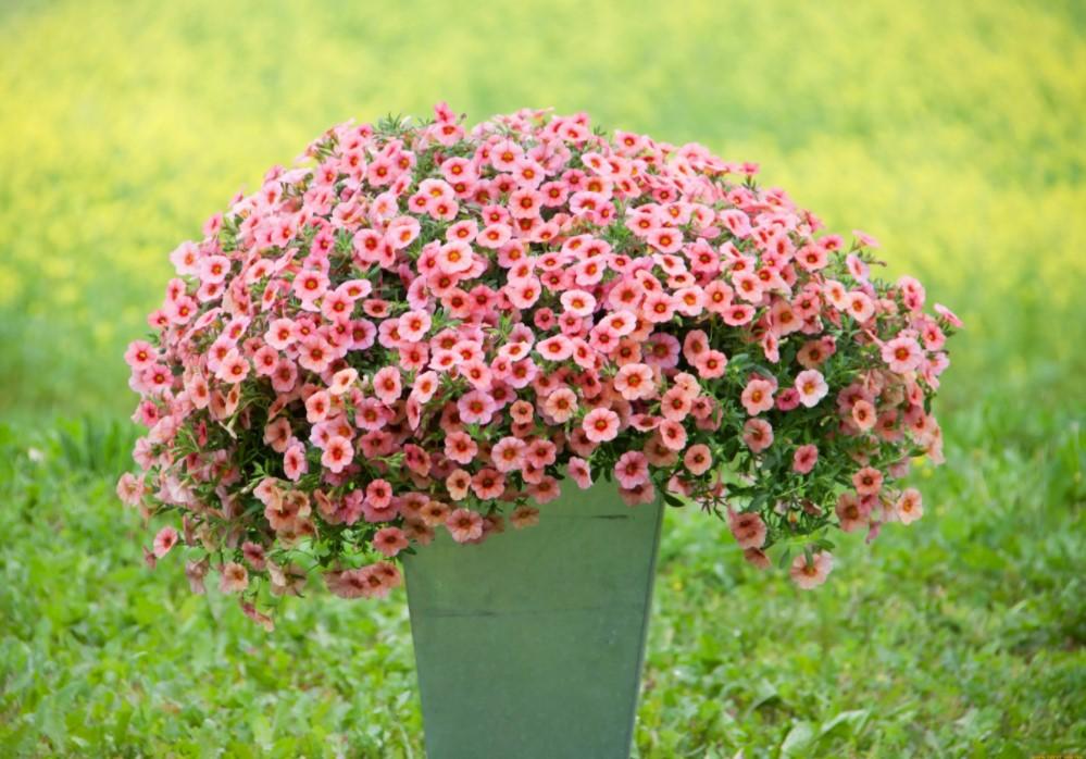 Мелкоцветковые петуньи